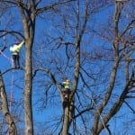 Tree Pruning in Simcoe County, Ontario